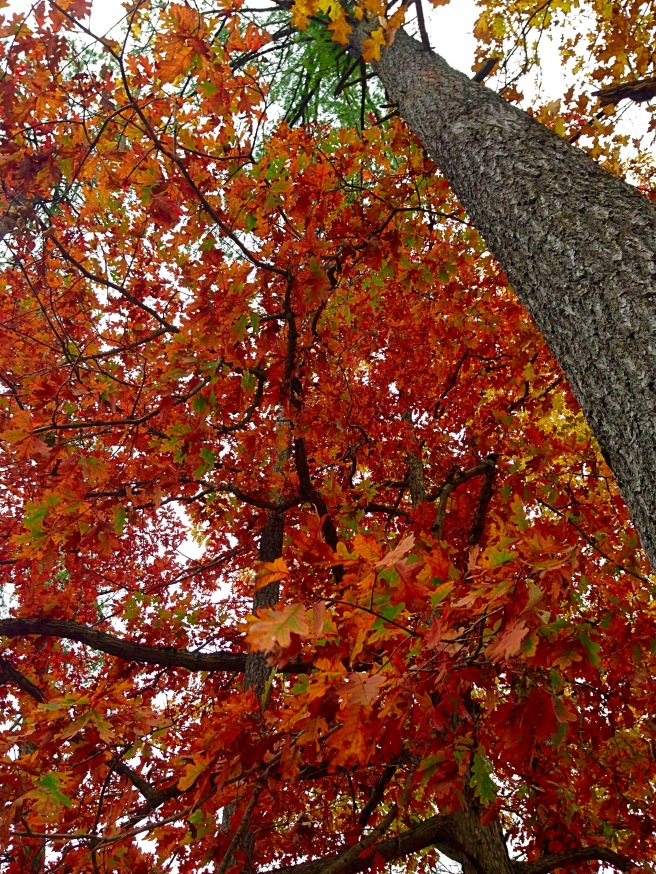 A photo of orange leaves on a tree in Letchworth.